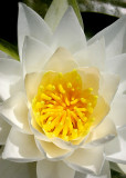 6 golden heart, white lily