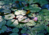 9 light on the lily pond