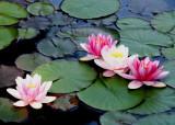 10 waterlilies 08