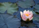 11 floating lotus