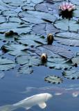 15 lily pond koi