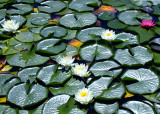 20 waterlily land