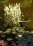 23 waterlilies, pond grass