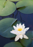 24 white water lily
