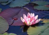 27 pink lily, maroon leaf