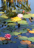 1 late summer lily pond