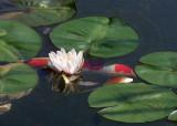 32 koi, white lily