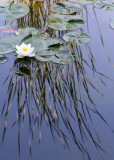 33 grass reflections, lily