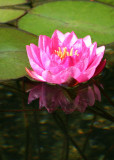 34 fucshia lily