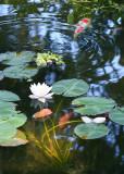 35 koi, white lily 2