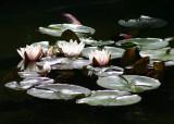 37 lilies on dark water