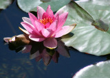 39 pink lily with reflection