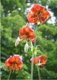 37 turks head lily