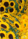 39 sunflowers