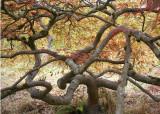 73 september maple