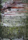 51 birch