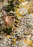 53 alder shoots, lichen, moss