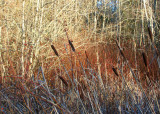32cattails and rosehips