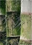 30 i don't think i'd climb this bamboo