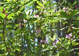 19 wild rhodies