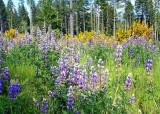 24 lupine and broom