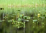 25 yellow lily pondscape