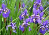 41 blue irises