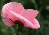 33 pink poppy