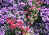 32 plenty of pink and purple