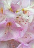 30 pink petals