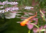 25 koi, reflections, leaves