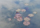 22 lily leaves, cloud reflections
