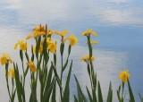 10 iris by blue sky water