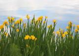 09 iris by the lake