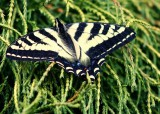Tiger Striped Swallowtail