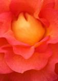 41 inside the rose