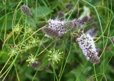 118 mint flowers