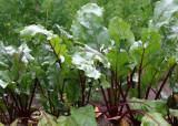 112 beet leaves