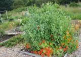 109 peas and nasturtiums
