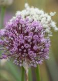 108 onion blossoms