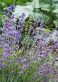 101 lavender