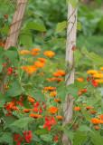 97 scarlet runner flowers and calendula