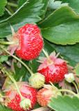90 strawberries