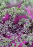 83 ornamental kale