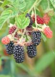 81 blackberries