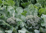 74 broccoli