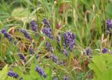 70 lavender