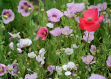 66 pink and red poppies