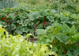 64 corn, squash, nasturtiums