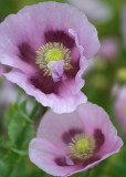 59 pink poppies